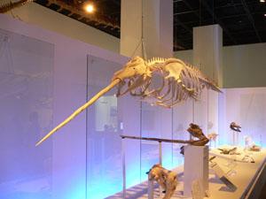 クジラが陸を歩いていた頃 福井県立恐竜博物館