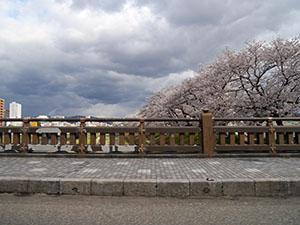 足羽川桜並木 さくらカード