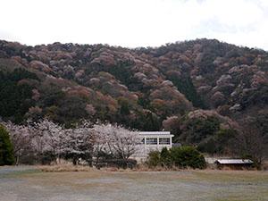 神子の山桜 さくらカード