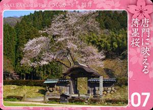 唐門に映える薄墨桜 さくらカード