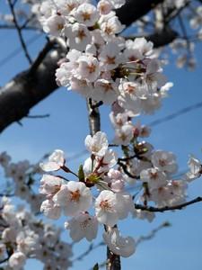 河北潟の桜