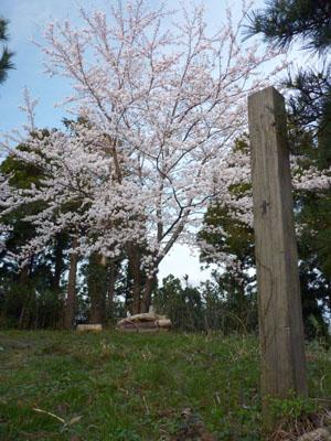 末森城の桜
